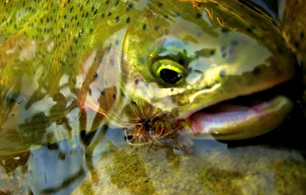 Native Westslope Cutthroat Trout found on the Middle Fork